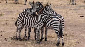 Zebras in vertrauter Runde