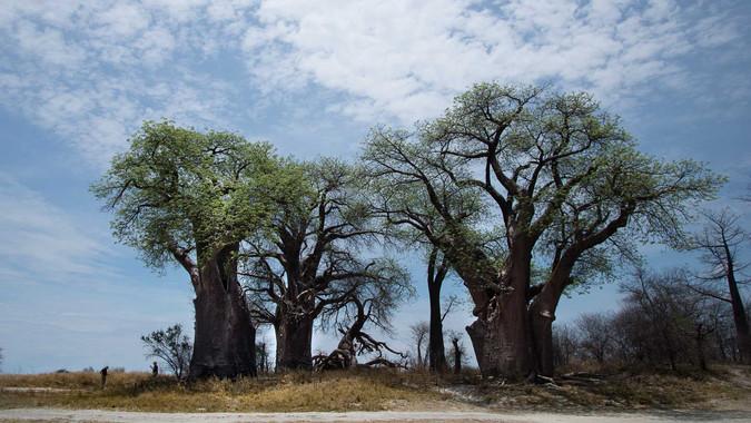 Baynes Baobabs im Nxai Pan NP