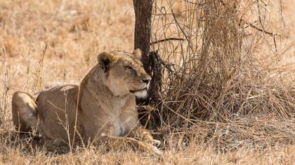 Löwin vor der Jagd