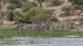 Zebras am Boteti