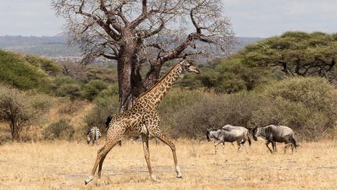 Giraffe im Galopp
