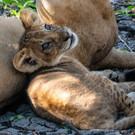 Löwenbaby ca. 4-5 Wochen
