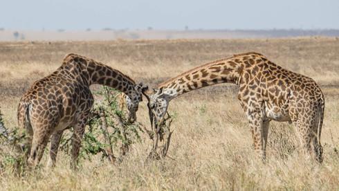 Giraffenfrühstück