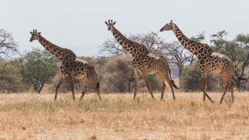 Giraffengruppe in der Serengeti