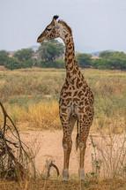 Giraffe im Ruaha-NP