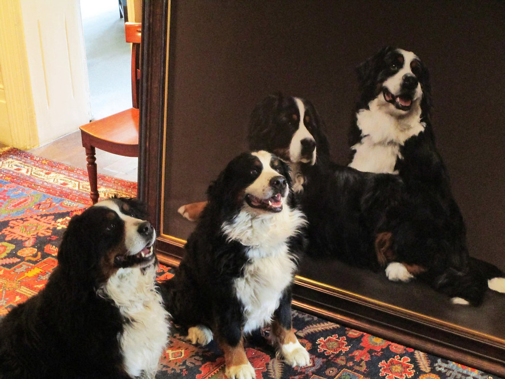 Bernese Mountain Dogs painting