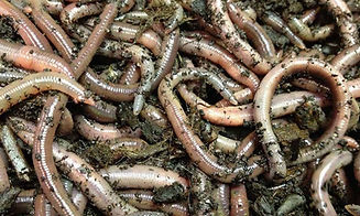 live-bait-walleye-worms.jpg