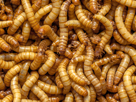Mealworms care and tips