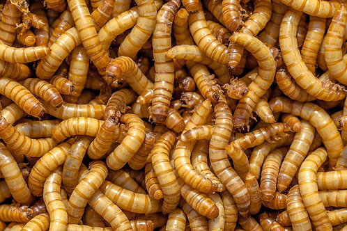 Mealworms 500 ct