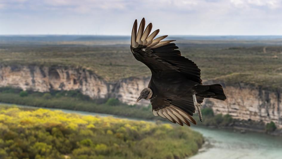 Black Vulture Rio Grande:  Scott Keys Ed