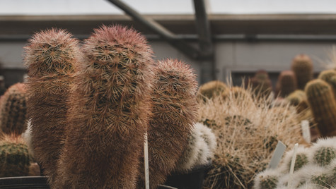 Cacti in the Botanical Garden greenhouse