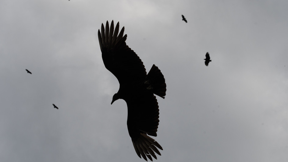 Black Vulture (Coragyps atratus) Photose