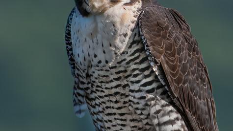 Peregrine Falcon (Falco peregrinus) supe