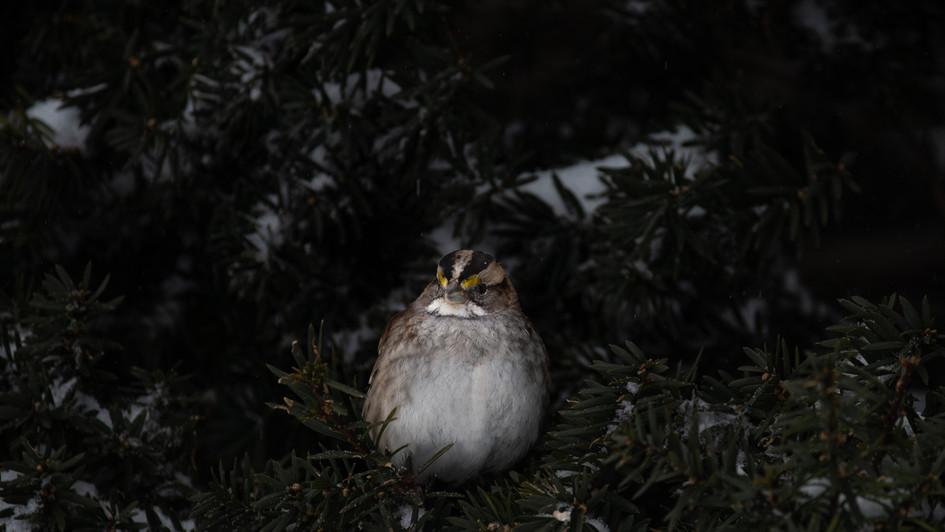 White-throated sparrow (Zonotrichia albi