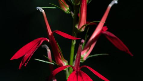Cardinal-flower Lobelia cardinalis.jpg