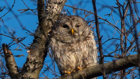 Barred owl (Strix varia) photoshop edit.