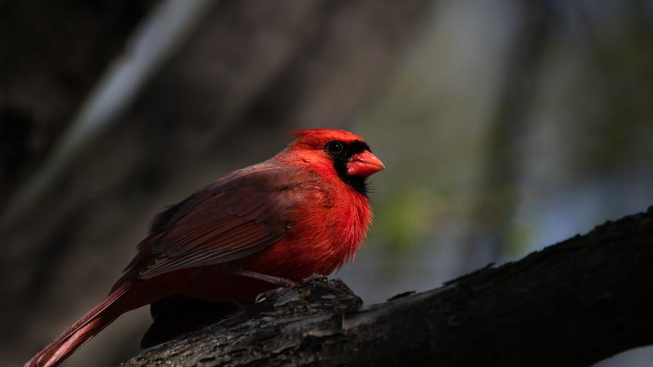 Cardinal in dramatic lighting (Cardinali