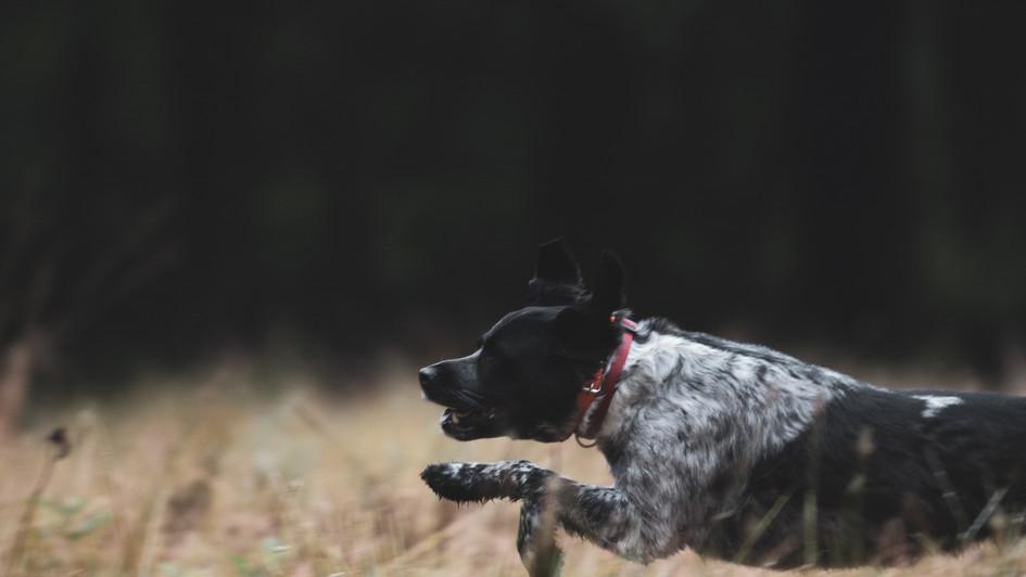 Dogs in flight.jpg