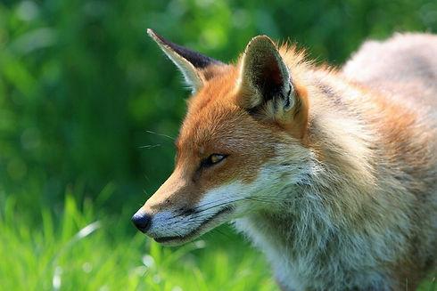 fox-317023_1280.jpg