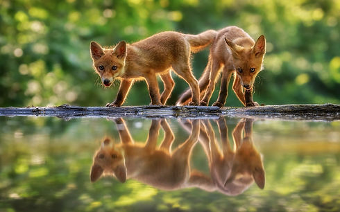 Two-cute-little-foxes-water-reflection_1