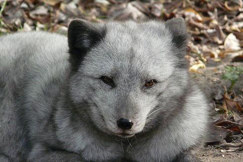 polar-fox-3803306_1920.jpg