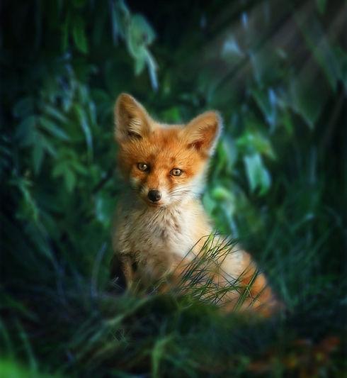 fox-red-3456545_1920.jpg