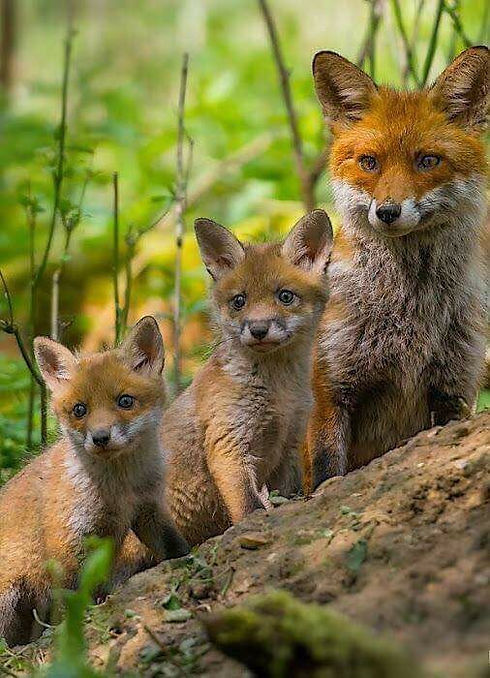 3 renards.jpg