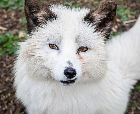 fox-5735798_1920.jpg
