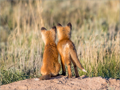 2 renards.jpg