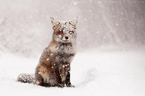renard sous la neige.jpg