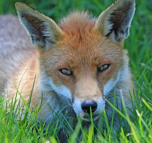 fox-220487_1280.jpg