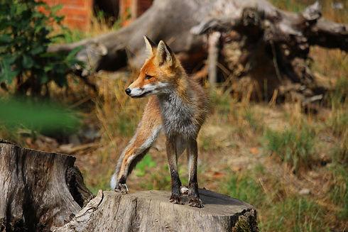 red-fox-5701190_1920.jpg