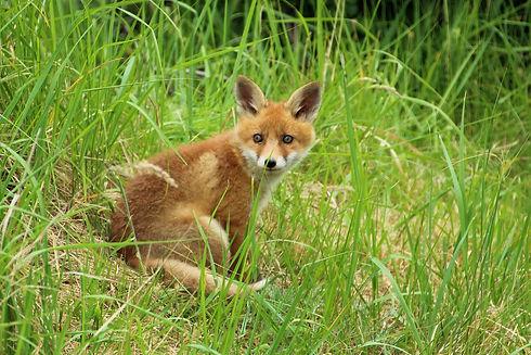 young-fox-1404020_1920.jpg