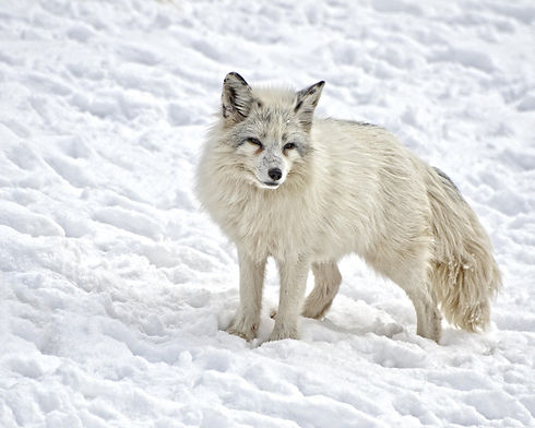 arctic-fox-1170655_1920.jpg
