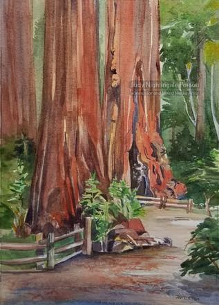 Cowell Redwoods