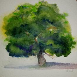 Quail Hollow Oak