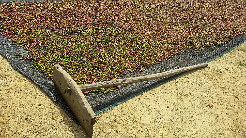natural coffee being raked
