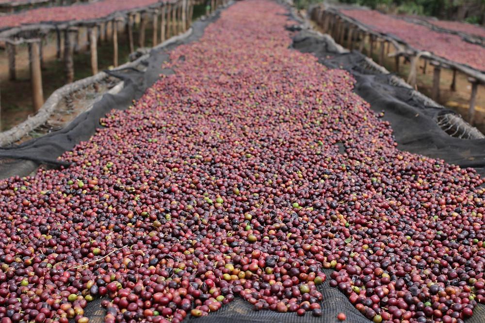 natural coffee drying in sun