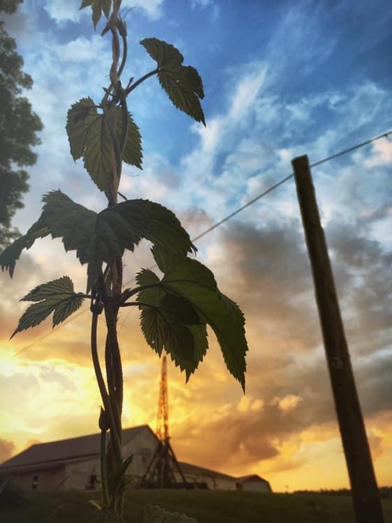 Yeah, we grow hops on the farm!