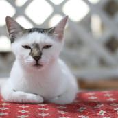 Lissa Femea Gatinha de 10 meses