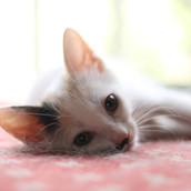 Mindy Gatinha femea de 2 meses