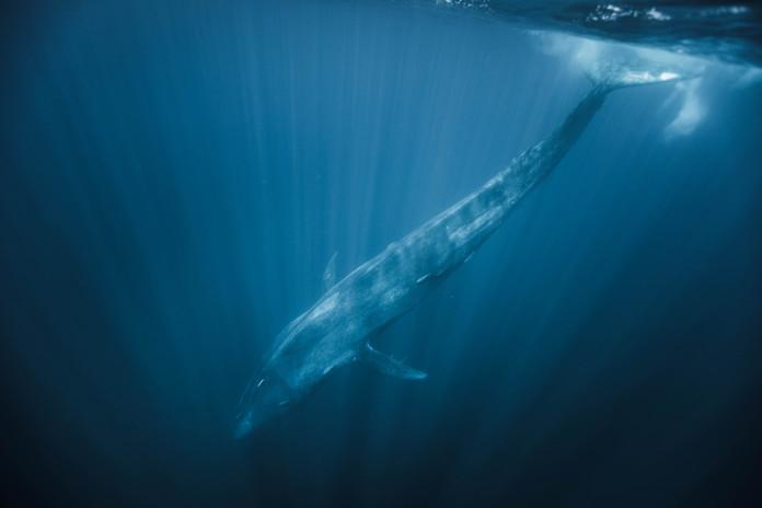 Blue Whale Chase Teron.jpg