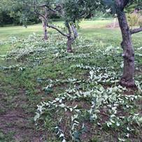 Pruning-summer.jpg