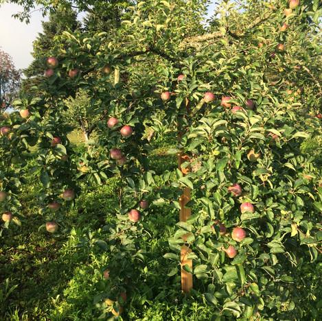 Apples-loaded.jpg
