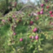 9-8 Cort Apples.jpg