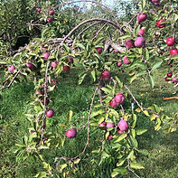 9-8 Cort Apples.jpg