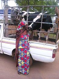 widow_cow.jpg
