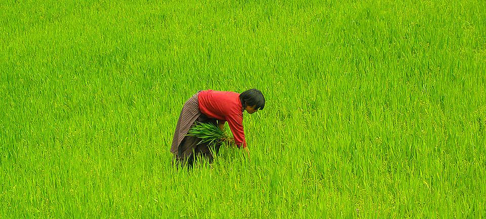A farmer in central Bhutan working her ripe paddy fields