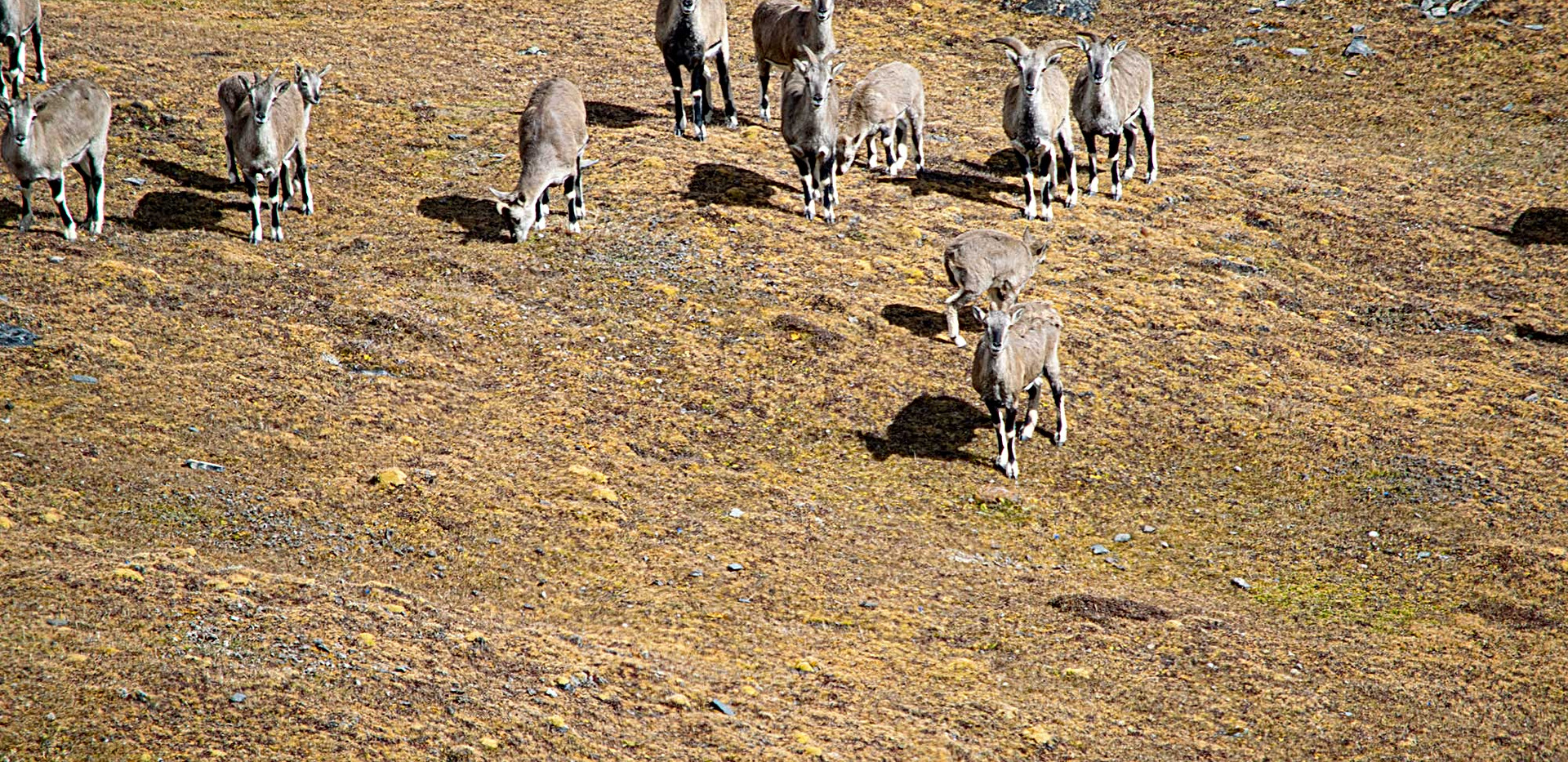 herd-blue-sheep-jomolhari.jpg