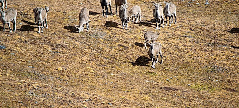 herd-blue-sheep-jomolhari.jpg